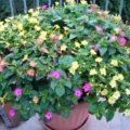 Цветы ночная красавица: описание, особенности выращивания и ухода, фото. Мирабилис: описание, виды, выращивание и уход