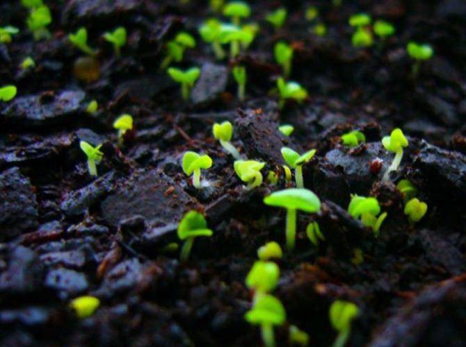 Выращивание маргариток: выбор сорта, посадка, уход. Нюансы размножения цветка маргаритка и дальнейшего ухода за ним в саду