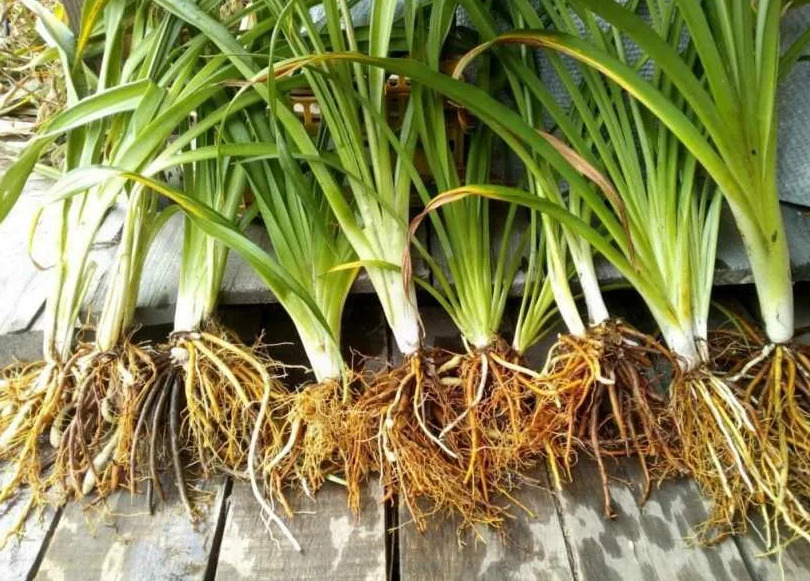 Посадка и уход в открытом грунте на даче за лилейниками. Многоликие лилейники: выбор, особенности выращивания, размещение на даче